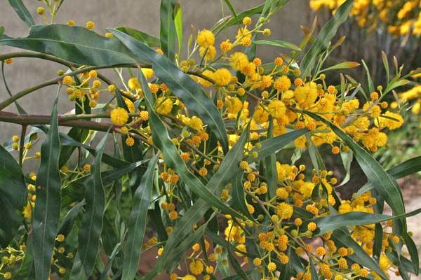 Fiori Gialli In Sardegna.Acacia Saligna Flora Di Sardegna