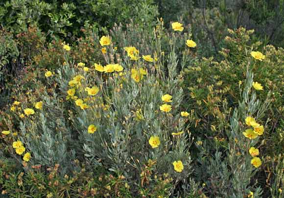 Fiori Gialli In Sardegna.Halimium Halimifolium Flora Di Sardegna