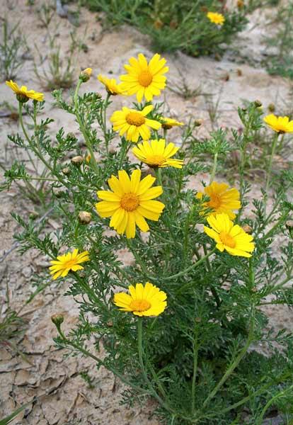 Glebionis coronaria, Crisantemo giallo, Fior d'oro, Margheritone giallo, Caraganzu, Caregantzu, Ghirielle
